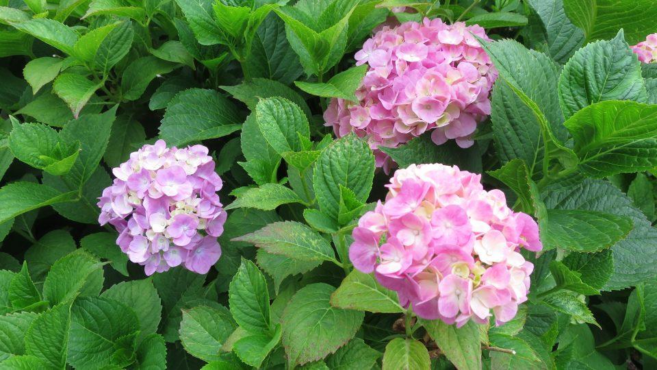 Hortenzie růžová se smetanovou kombinací