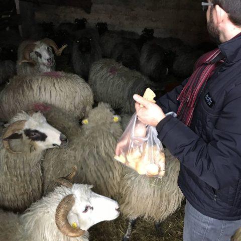 Ovce si pochutnají i na tvrdém pečivu.