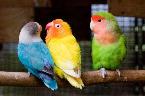 Papoušci, žárlivost
