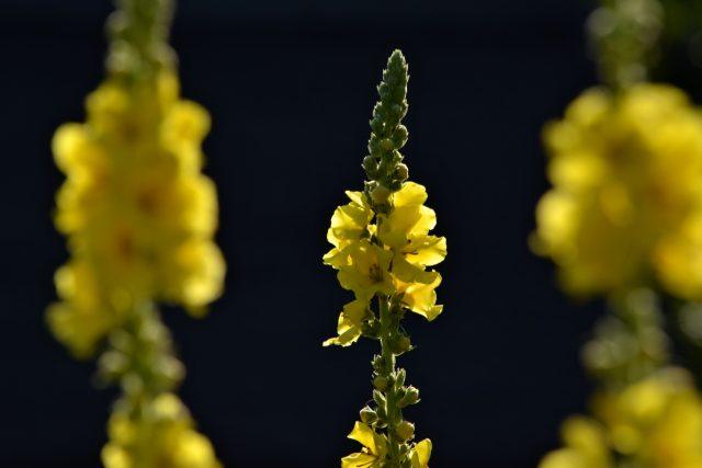 Diviznové květy sbíráme ráno