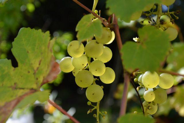 Hrozen,  hrozny,  hroznové víno,  vinná réva | foto: Anna Kottová,  Český rozhlas