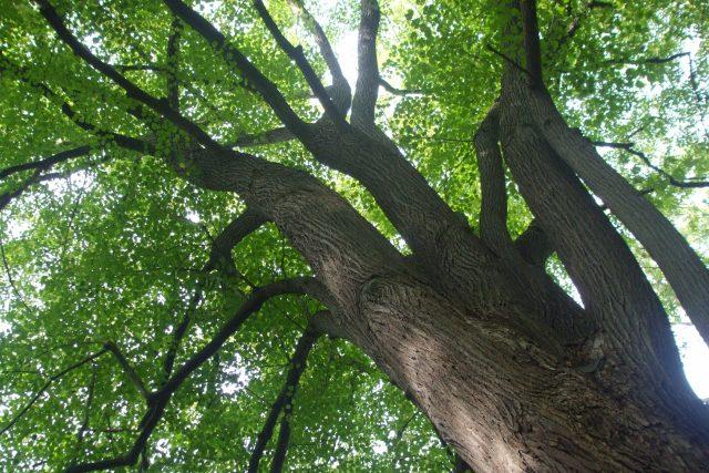 Lípy se často vysazují v parcích a stromořadích