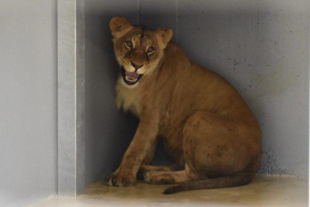 Lvice Kiva přijela do brněnské zoo z Ústí nad Labem.