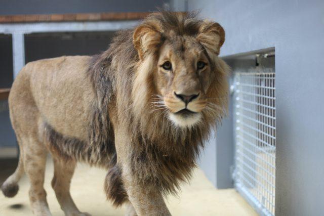 Dvouletý konžský lev Lolek přijel do Brna z Gdaňsku.