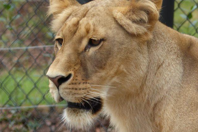 Lvice Kivu pochází z Lisabonu, je o tři roky starší než její nový partner.