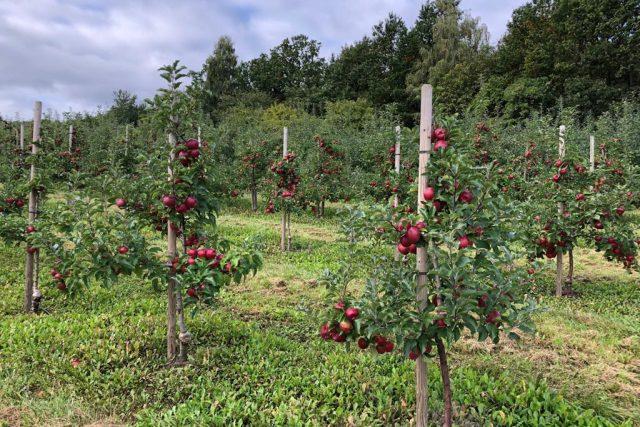 S letošní úrodou jablek jsou jihočeští ovocnáři spokojeni