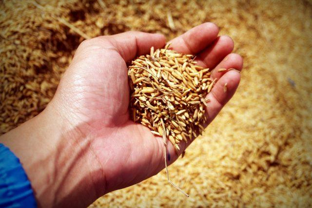 zemědělství - obilí