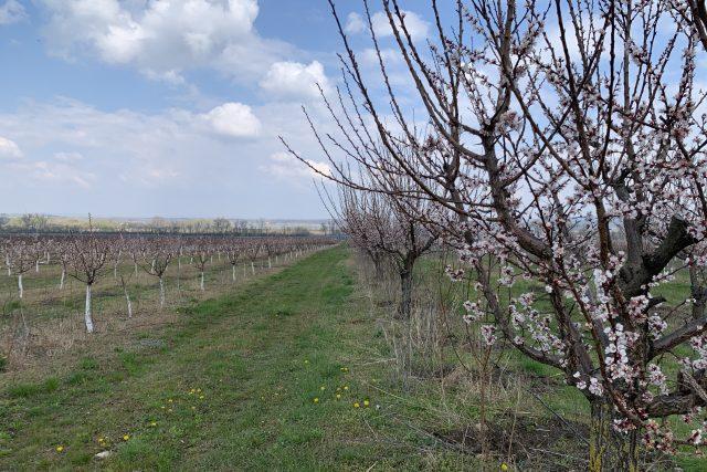 Meruňkový sad v Horních Věstonicích